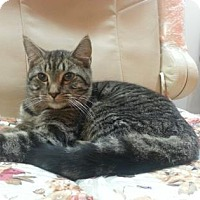 Domestic Shorthair Cat for adoption in New York, New York - Bori