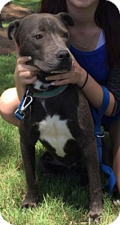 Pit Bull Terrier Mix Dog for adoption in Cat Spring, Texas - Lou