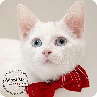 Domestic Shorthair Kitten for adoption in Troy, Ohio - Peanut