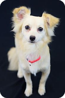 Chihuahua Mix Dog for adoption in Bradenton, Florida - Artie