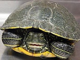 Turtle - Other for adoption in Wildomar, California - SMILEY