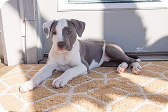 American Staffordshire Terrier/Boxer Mix Puppy for adoption in Portland, Oregon - Sweetie