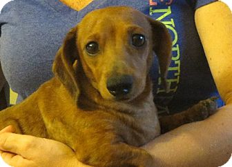Dachshund Dog for adoption in Allentown, Pennsylvania - Alice