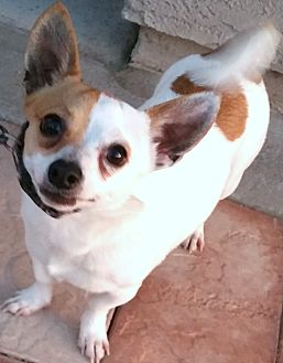 Rat Terrier/Jack Russell Terrier Mix Dog for adoption in Phoenix, Arizona - Eli
