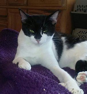 Domestic Shorthair Kitten for adoption in Naples, Florida - Jodi