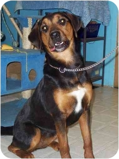 Rottweiler/Hound (Unknown Type) Mix Dog for adoption in Port Hope, Ontario - Nikita