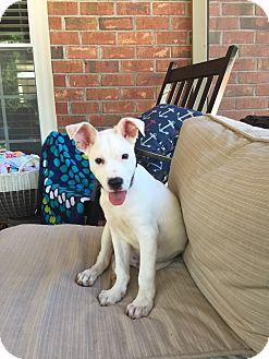 Boxer Mix Puppy for adoption in Media, Pennsylvania - Mason