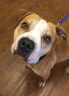 Pit Bull Terrier Mix Dog for adoption in Bloomfield, New Jersey - Odin