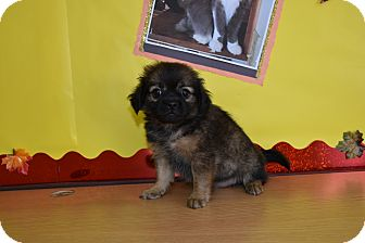 Pug/Pomeranian Mix Puppy for adoption in North Judson, Indiana - Mia