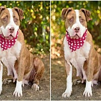 American Staffordshire Terrier Dog for adoption in Chatsworth, California - LULU