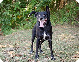 Labrador Retriever/Shepherd (Unknown Type) Mix Dog for adoption in Bristol, Tennessee - Zollie