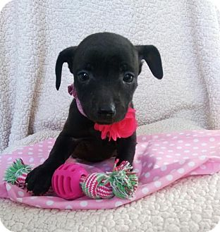 Chihuahua Mix Puppy for adoption in Newark, Delaware - Riley