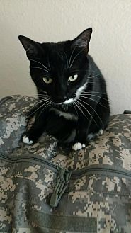 Domestic Shorthair Cat for adoption in Tampa, Florida - Helena (0676-T)