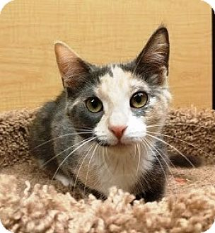 Calico Kitten for adoption in Lake Elsinore, California - Marbles