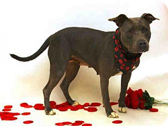 Pit Bull Terrier Dog for adoption in Sanford, Florida - EDNA