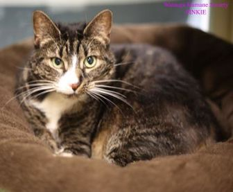 Domestic Shorthair/Domestic Shorthair Mix Cat for adoption in Boone, North Carolina - Pinkie
