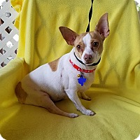Chihuahua Mix Dog for adoption in Allentown, Pennsylvania - Chiquita