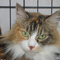 Adopt A Pet :: Callie - Longview, WA