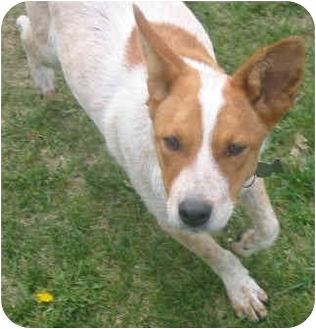 Australian Cattle Dog Puppy for adoption in Lamar, Nebraska - Cubby