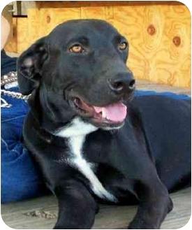 Labrador Retriever Mix Puppy for adoption in Sealy, Texas - Jessie