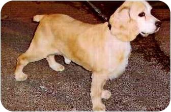 Cocker Spaniel Mix Dog for adoption in Old Bridge, New Jersey - Jake