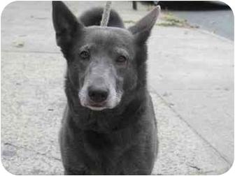 Australian Kelpie/Shepherd (Unknown Type) Mix Dog for adoption in Long Beach, New York - Sisi