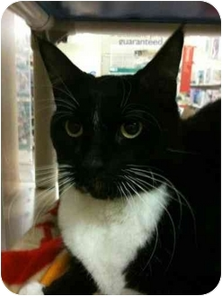 Domestic Shorthair Cat for adoption in Plymouth, Massachusetts - Bentley