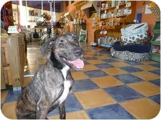 Belgian Shepherd/Labrador Retriever Mix Dog for adoption in Boca Raton, Florida - Delilah
