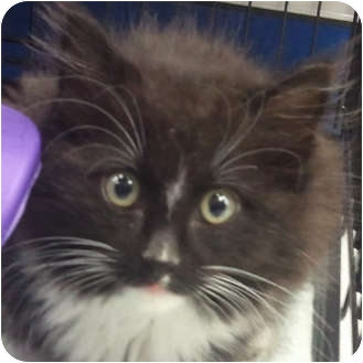 Domestic Mediumhair Kitten for adoption in Toronto, Ontario - Mack