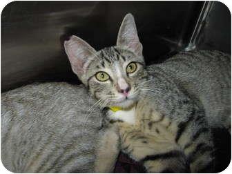 Domestic Shorthair Kitten for adoption in Modesto, California - Alicia