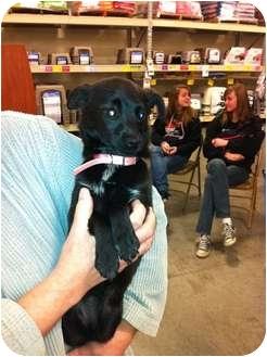 Chihuahua Mix Puppy for adoption in Bellingham, Washington - Ziva