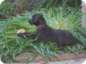 Labrador Retriever Mix Puppy for adoption in Kingwood, Texas - Dexter
