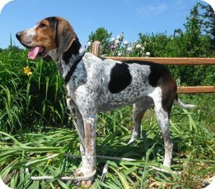 Hound (Unknown Type) Mix Dog for adoption in Jackson, Michigan - Strawberry