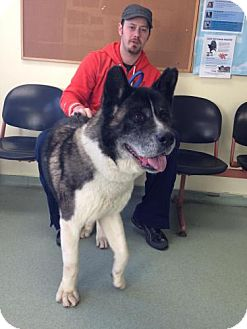 Akita Dog for adoption in Toms River, New Jersey - Coby