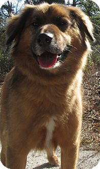 Shepherd (Unknown Type) Mix Dog for adoption in Forked River, New Jersey - Sundance