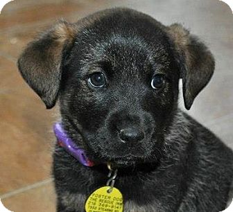 German Shepherd Dog/Rottweiler Mix Puppy for adoption in North Olmsted, Ohio - Viktor