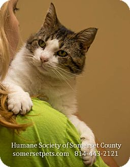 Domestic Shorthair Cat for adoption in Somerset, Pennsylvania - Wayne