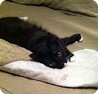 Domestic Shorthair Cat for adoption in Richmond, Virginia - Pepper
