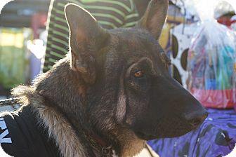 German Shepherd Dog Dog for adoption in Fort Worth, Texas - Ambassador