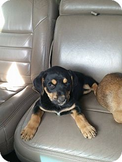 Labrador Retriever/Rottweiler Mix Puppy for adoption in Hagerstown, Maryland - Boo