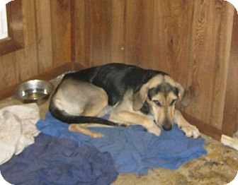 Shepherd (Unknown Type) Mix Dog for adoption in McArthur, Ohio - CAGNEY