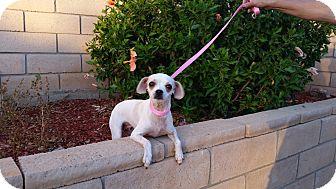 Chihuahua Mix Dog for adoption in Santa Ana, California - Dottie