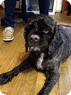 Cocker Spaniel Dog for adoption in Flushing, New York - Brownie Fudge Sundae
