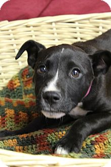 Labrador Retriever/Shepherd (Unknown Type) Mix Puppy for adoption in Waldorf, Maryland - Leslie