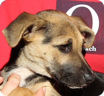 German Shepherd Dog Mix Puppy for adoption in Pewaukee, Wisconsin - RAE-pocket shepherd girl