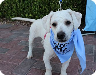 Bichon Frise Mix Puppy for adoption in Las Vegas, Nevada - CookE
