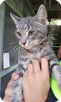 Domestic Shorthair Kitten for adoption in Savannah, Georgia - Greg
