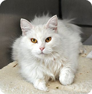 Domestic Longhair Cat for adoption in Oakdale, California - Snow