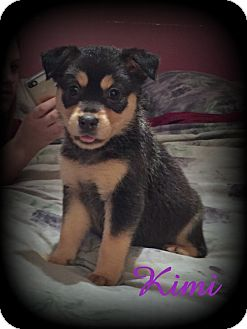 Retriever (Unknown Type)/Rottweiler Mix Puppy for adoption in Denver, North Carolina - Kimi
