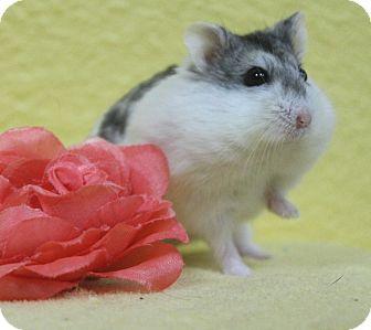 Hamster for adoption in Benbrook, Texas - Tabitha
